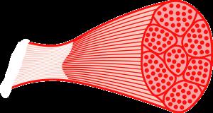 muscles protéines fibres