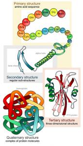 proteines acides aminés