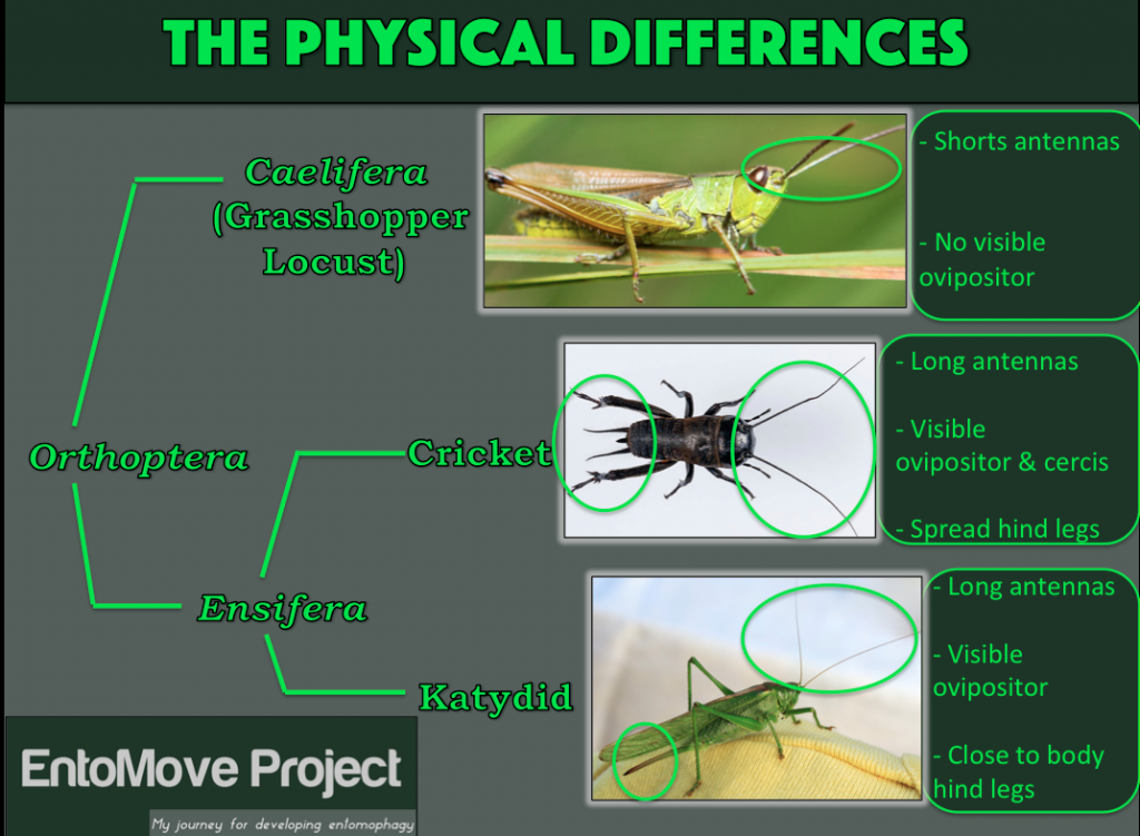 Physical-differences-cricket-grasshopper