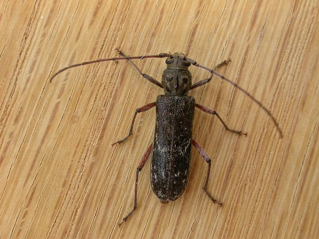 Cerambycidae insectes comestibles perte de cheveux entomophagie