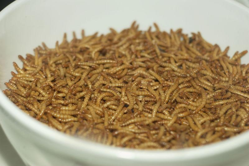 insectes comestibles entomophagie vertus nutrition