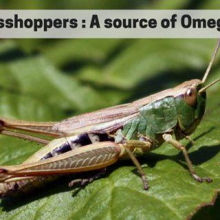 Grasshoppers omega 3