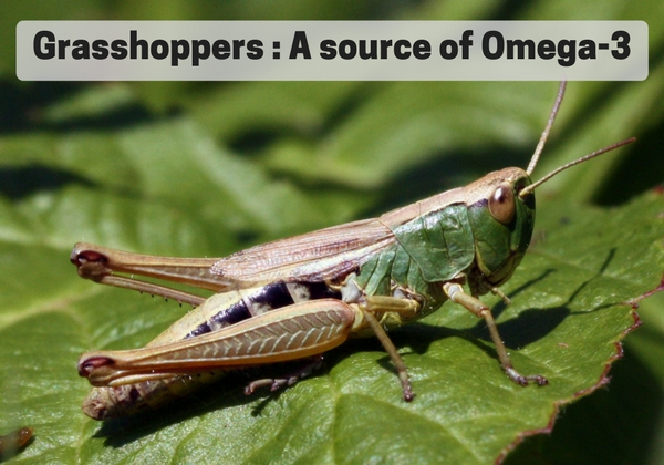 Edible Grasshoppers omega 3