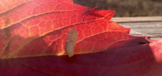 bugs insect entomophagy
